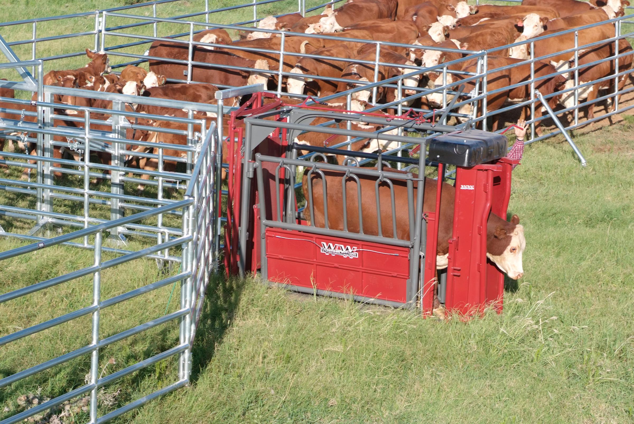 beefmaster-standard (2)